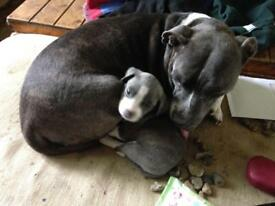 Staffordshire Bull Terrier Staffy Puppies Blue Pups for sale