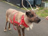 Groom/driver Berkshire for events with Reindeer