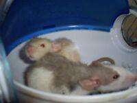baby rats 5 boys 5 girls