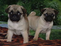 Very cute Pug puppy's for sale