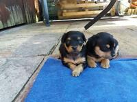 Chipin puppies chihuahua cross pincher miniature