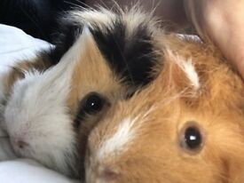 2 male guinea pigs around 2 years old with hutch/run