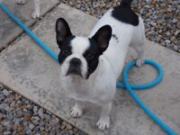 Gorgeous 2 year old French bulldog girl