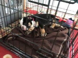 Victorian Bulldog 10 weeks old