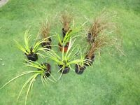 Pond , Pots or Garden grasses variegated and brown plants
