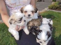 Lhasa apso X maltese Pups for sale