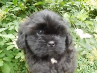 For Sale, 4 beautiful boy Puppies. Shih Tzu+Toy poodle.