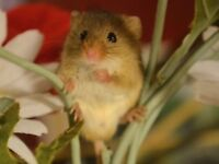 Young Male Harvest Mouse