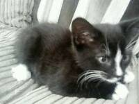 Adorable brown with black stripes and white kitten