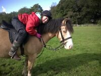 13.2hh Dun New Forest X Welsh Gelding for sale