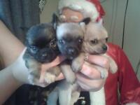 stunning pedigree chihauhua puppies