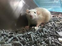 Two female rats needing a new home ASAP