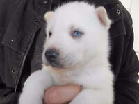 Siberian Husky Puppies - Pure White - Pure bred - Blue eyes (Males and Females)