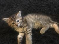 3 Bengal like tabby beautiful tabby kittens