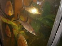 Silver sharks (Bala sharks) X 2, beautiful, sleek, friendly and excellent to keep