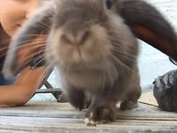 Dwarf rabbit named George, aged 3 with indoor and outdoor cage