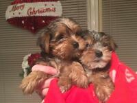 **Ready Now!!** 4 Adorable Yorkshire terrier puppies