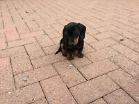 Black & tan minature Daschund puppy's
