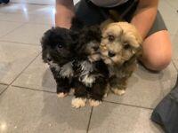 Cavapoo puppys