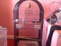 blue budgie in large cage