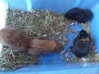 Baby girl guinea pigs