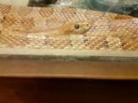 Carolina Corner snake 6ft long male & vivarium