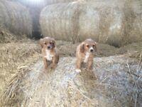 1/4 Jack Russell 1/4 Chihuahua X Cocker Spaniel Pups