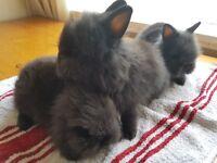 Lionheads rabbits