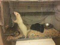 4 months old ferret with cage