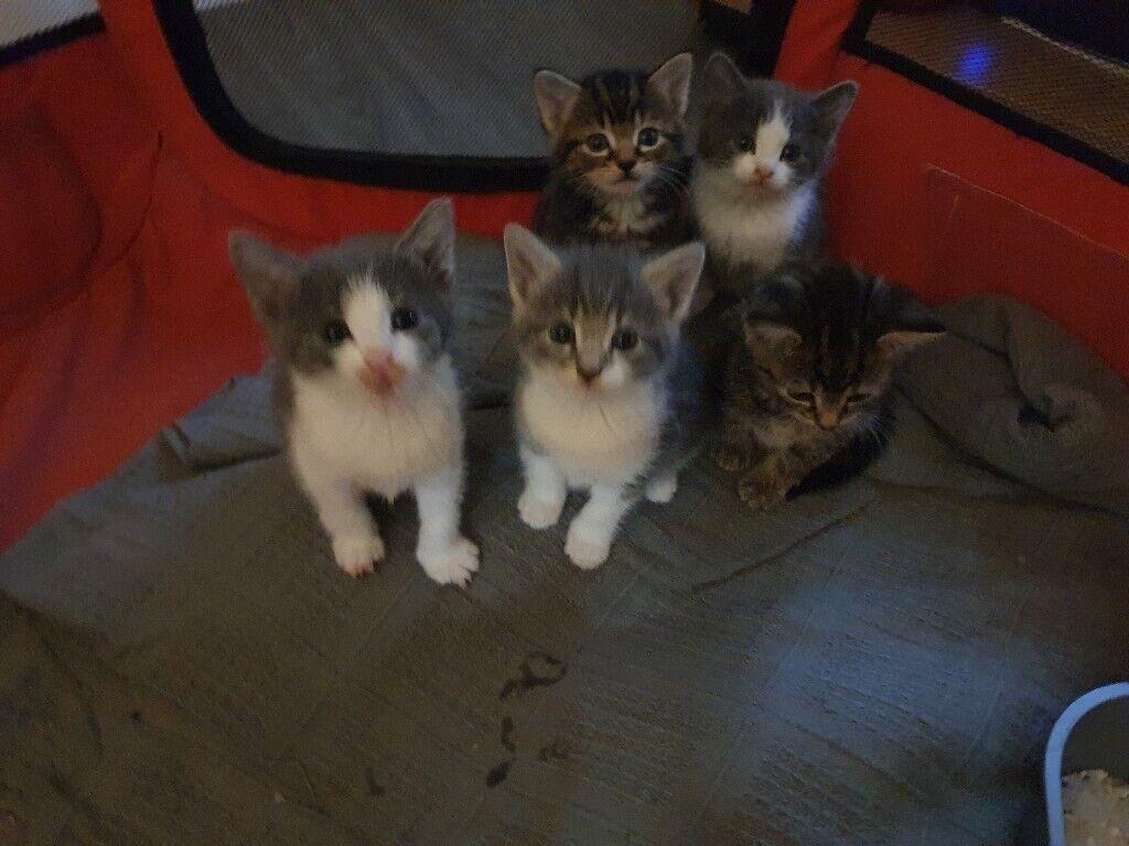 Kittens-British Short Hair Cross Tortoise Tabby