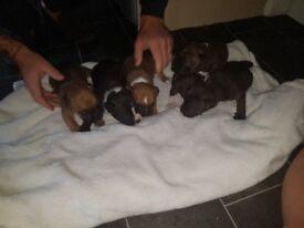 Beautiful staffy pups