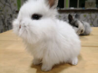 Rabbits Lionhead White and Grey Mix - Very Cute!!