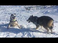 Two champion bred Siberian huskys