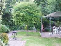 Mature Acer Palmatum 'Red Pygmy' Tree - Approx 9ft tall - Buyer to remove