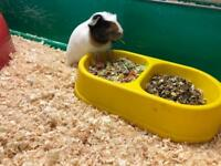Guinea pig & rabbit