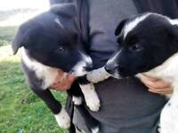 5 Sheepdog pups For Sale
