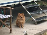 18 month old full pedigree Pomeranian boy