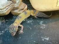 Baby gecko female