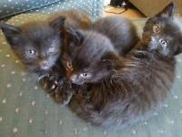3 Black Kittens for sale