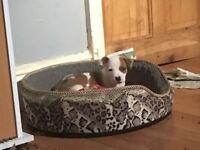 Last female puppy