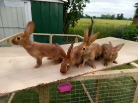 Belgian Hares , Beautiful Belgian hares ready for their homes shortly