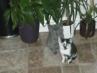 Silver grey & Black/white Kittens