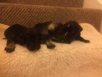 3 Gorgeous Miniature Schnack pups
