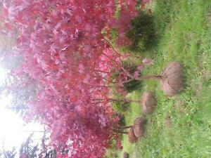 "Stunning""Bloodgood"" Japanese Maples below nursery prices"