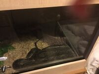 African rock python for sale