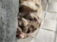 Merle Bulldog Puppies