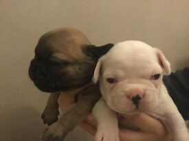 K C Reg French Bulldog Puppies for sale