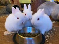 White Netherland Dwarf Bunnies