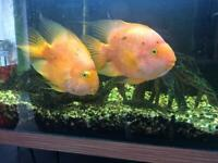 Tropical Fish - 2 Adult Parrot Fish, 1 large sucking loach and 1 large catfish