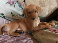 Labrador Pup Ready for home.